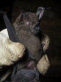 Lesser spear-nosed bat (Phyllostomus elongatus), held by researcher, Madre de Dios, Peru