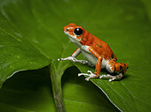Strawberry Poison-frog (Oophaga pumilio), red morph, Bocas del Toro, Panama