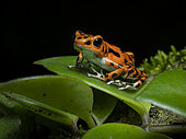 Strawberry Poison-frog (Oophaga pumilio), orange morph, Bocas del Toro, Panama