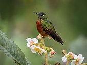 Chestnut-fronted Coronet (Boissonneaua matthewsii), Ecuador