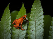 Strawberry Poison-frog (Oophaga pumilio), orange morph on fern, Bocas del Toro, Panama