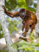 Venezuelan Red Howler Monkey (Alouatta seniculus), Madre de Dios, Peru