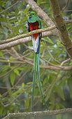 Resplendent Quetzal (Pharomachrus mocinno), male, Chiriqui Highlands, Panama