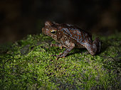 Leaflitter Toad (Rhinella alata), Darien, Panama