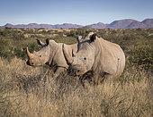 White Rhinoceros (Ceratotherium simum), female with grown calf, Tswalu Kalahari, South Africa