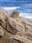 Rock Hyrax (Procavia capensis), Cape Point, South Africa