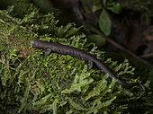 Salamander (Bolitoglossa sp), Yasuni National Park, Ecuador
