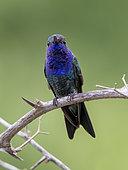 Sapphire-throated Hummingbird (Lepidopyga coeruleogularis), Darien, Panama