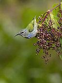 Shining Honeycreeper (Cyanerpes lucidus), female feeding on Miconia berries, Bocas del Toro, Panama
