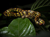 Checkerbelly Snake (Siphlophis cervinus), Yasuni National Park, Ecuador