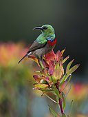 Southern Double-collared Sunbird (Cinnyris chalybeus), male on protea bush, Western Cape, South Africa, August