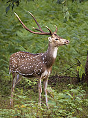 Spotted Deer (Axis axis),male, Kabini Forest, India