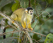 Black-capped Squirrel Monkey (Saimiri boliviensis), Madre de Dios, Peru