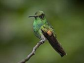 Stripe-tailed Hummingbird (Eupherusa eximia), Chiriqui, Panama