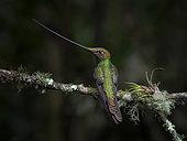 Sword-billed Hummingbird (Ensifera ensifera), male, Ecuador