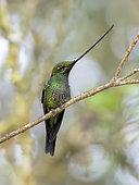 Sword-billed Hummingbird (Ensifera ensifera), male, Peru