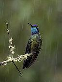Talamanca Hummingbird (Eugenes spectabilis), male in rain, Chiriqui, Panama