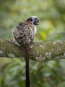 Geoffroy's Tamarin (Saguinus geoffroyi), adult calling, Soberania National Park, Panama