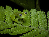 Swarf Glass frog (Teratohyla spinosa), Guna Yala, Panama, February