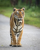 Bengal Tiger (Panthera tigris), male on old paved road, Kabini Forest, India