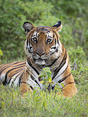 Bengal Tiger (Panthera tigris), female lying on grass, Kabini Forest, India