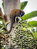 Brown Titi Monkey (Callicebus brunneus), feeding on palm fruit, Madre de Dios, Peru