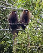 Brown Titi Monkey (Callicebus brunneus), calling to claim territory, Madre de Dios, Peru