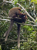 Brown Titi Monkey (Callicebus brunneus), couple grooming, Madre de Dios, Peru