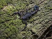 Scorpion (Tityus pachyurus), Valle de Anton, Panama