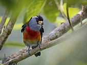Toucan Barbet (Semnornis ramphastinus) on abranch, Colombia