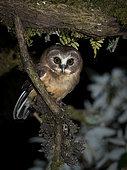 Unspotted Saw-whet Owl (Aegolius ridgwayi), Volcán Barú National Park, Panama