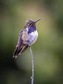 Volcano Hummingbird (Selasphorus flammula), male, Volcan Baru, Panama