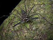 Tailless Whip Scorpion (Amblypygi sp), Yasuni National Park, Ecuador