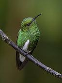 White-tailed Emerald (Elvira chionura), Chiriqui, Panama