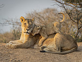 Lion (Panthera leo), female with playful cub, Tswalu Kalahari, South Africa, January