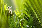 Tree frog (Hyla meridionalis) on cycas dry leaf, Arles, France