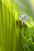 Tree frog (Hyla meridionalis) on cycas dry leaf, Arles, France