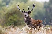 Red deer (Cervus elaphus) stag, Charente-maritime, France