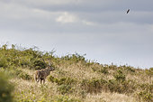 Red deer (Cervus elaphus) stag and barn swallow -Hirundo rustica), Charente-maritime, France