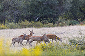 Youngs males Red Deers (Cervus elaphus) after a bath of kaolin slurry, Charente-maritime, France