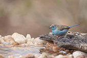 Blue breasted cordonbleu (Uraeginthus angolensis) in waterhole in Kruger National park, South Africa