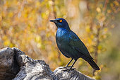 Cape Glossy Starling (Lamprotornis nitens) standing in a log with fall colors background in Kruger National park, South Africa