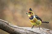 Crested Barbet standing on a log in Kruger National park, South Africa ; Specie Trachyphonus vaillantii family of Ramphastidae