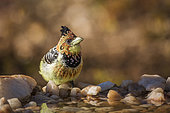 Crested Barbet (Trachyphonus vaillantii) standing at waterhole in Kruger National park, South Africa