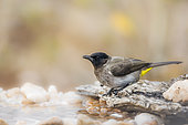 Dark capped Bulbul (Pycnonotus tricolor) standing at waterhole in Kruger National park, South Africa