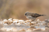 Southern Grey-headed Sparrow (Passer diffusus) standing at waterhole in Kruger National park, South Africa