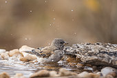 Southern Grey-headed Sparrow (Passer diffusus) bathing at waterhole in Kruger National park, South Africa