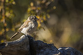 Southern Grey-headed Sparrow (Passer diffusus) standing on a log in fall colors background in Kruger National park, South Africa