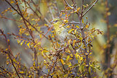 Village weaver (Ploceus cucullatus) in fall colors shrub in Kruger National park, South Africa