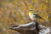 Village weaver (Ploceus cucullatus) standing on log with fall colors background in Kruger National park, South Africa